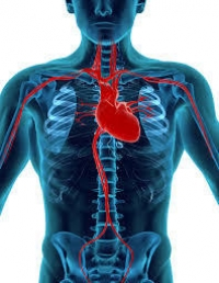 Amazing Facts About The Human Heart